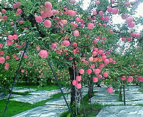 北東北の旅⑤りんごの木の下で